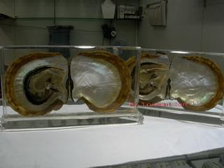 Pinctada Maxima Craft With Pearl